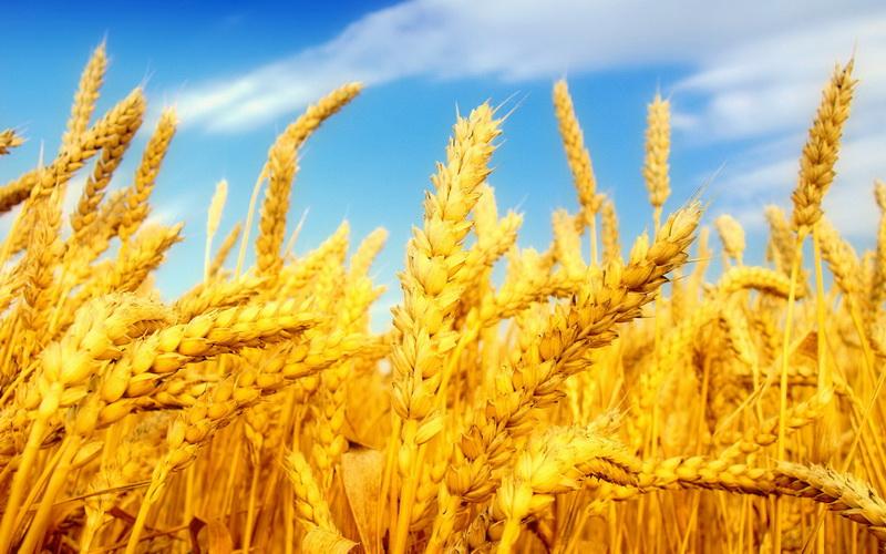 Golden yellow wheat wallpapers 1920x1200 (07)_новый размер