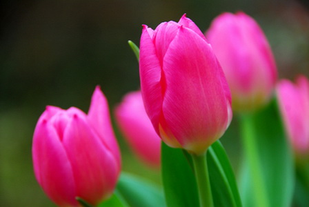 Landscape-pink-tulips_новый размер