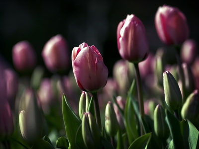Pink Tulips_новый размер