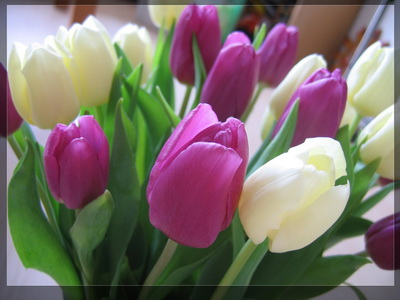 Purple-and-white-tulips_новый размер