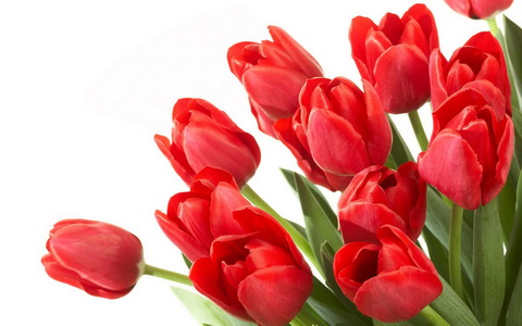 Red Tulips Wallpapers 1_новый размер