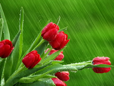 Red Tulips Wallpapers 3_новый размер