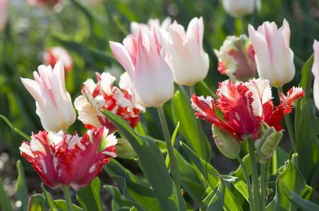 Tulipa 'Estella Rijnveld' + 'Holland Chic'