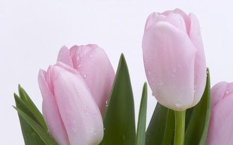 Rose-fresh-tulips_новый размер