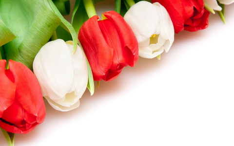 White-Red-Tulips_новый размер