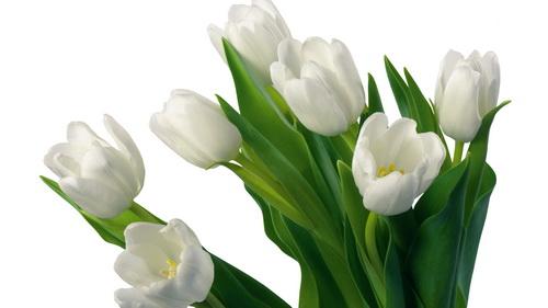 White-tulips_новый размер