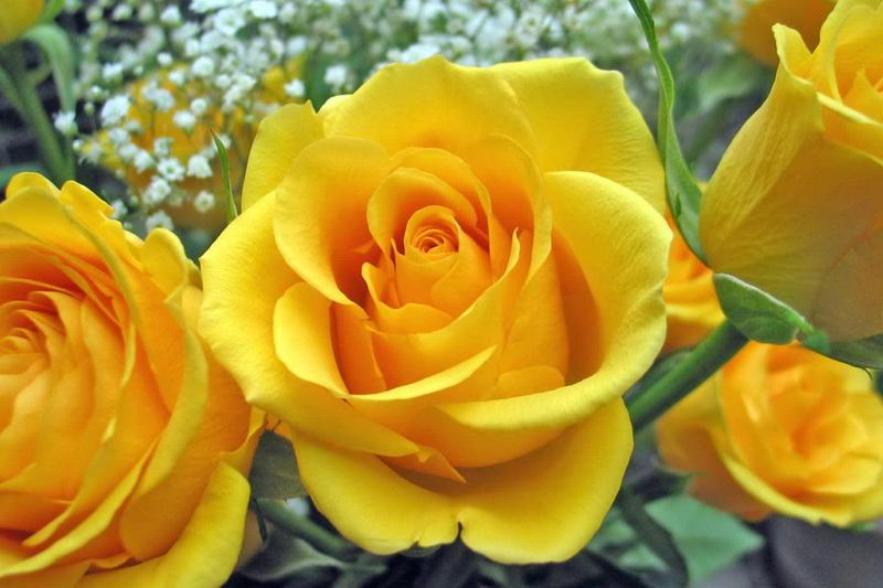 Yellow-Roses-roses-9842259-1800-1200_новый размер