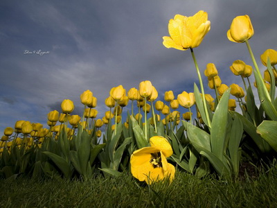 Yellow-Tulips-lovely-nature_новый размер