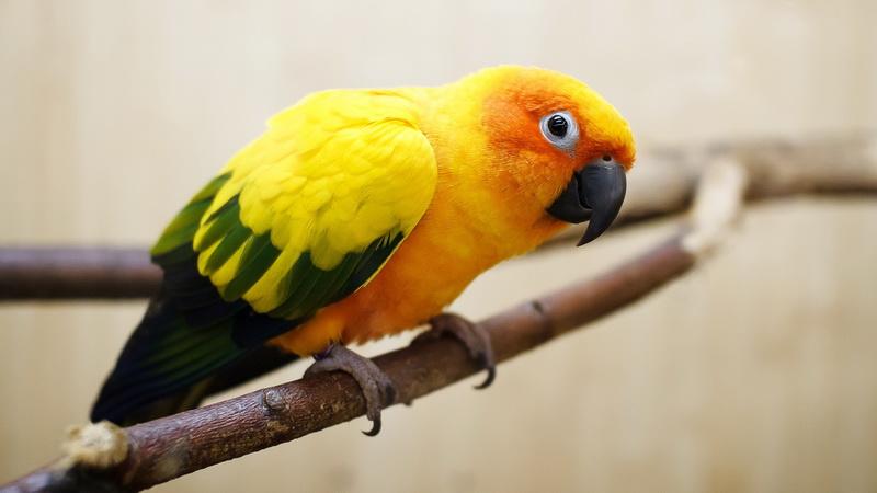 Yellow-green-parrot-wallpaper_новый размер