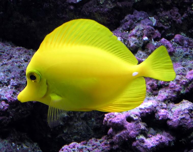 Yellow.tang.arp_новый размер