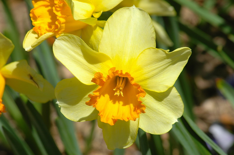 Yellow_Daffodil_новый размер
