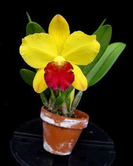 potinara-little-toshie-yellow-rose-foto-681