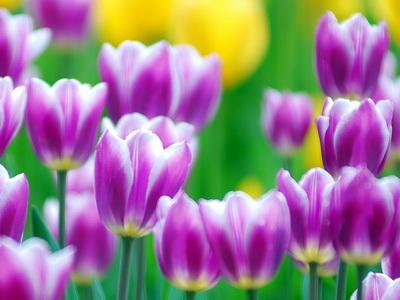 purple_tulips_Wallpaper_gjdsr_новый размер