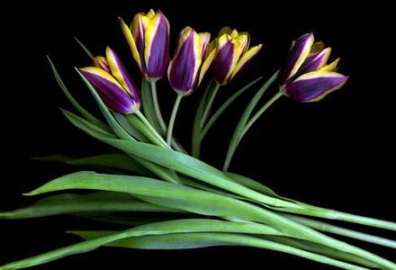 purple_yellow_tulips.1024_новый размер