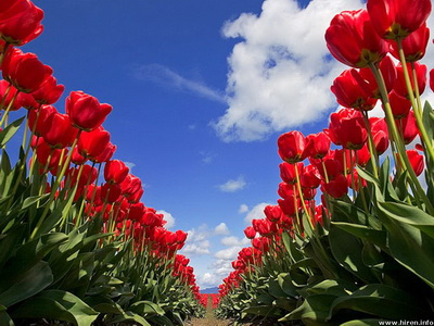 tulip-festival_новый размер