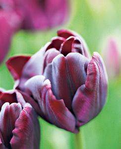 tulip_1953260a_новый размер