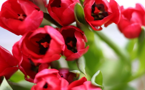 tulips_orqwith_ncsa_новый размер