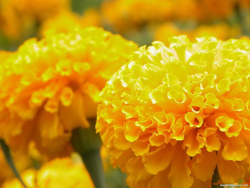 yellow-marigolds-238901_новый размер