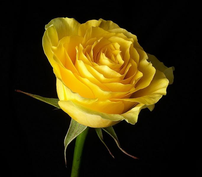 yellow rose flowers wallpapers (4)_новый размер