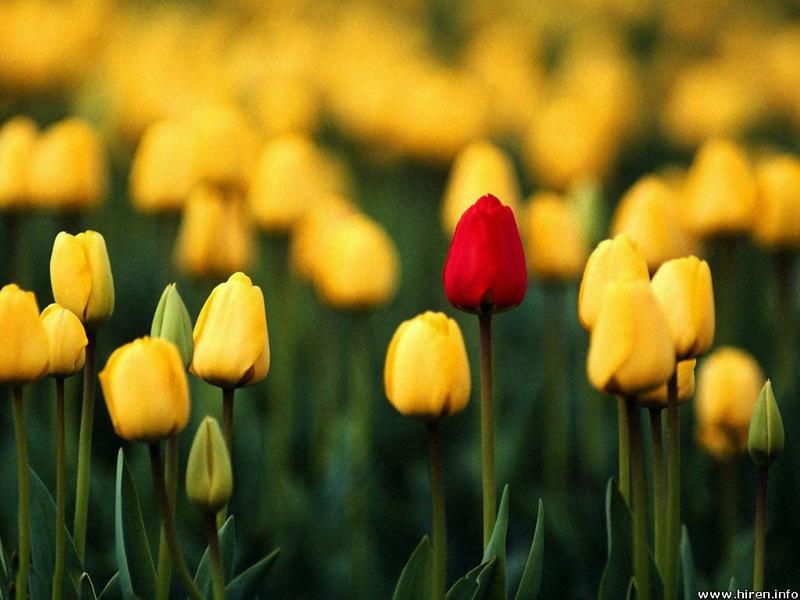 yellow-tulips-field-4_новый размер